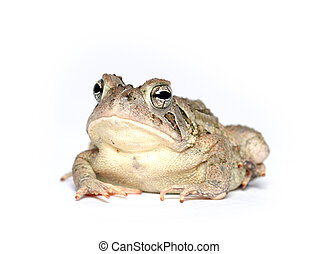 Toad on white - A toad on a white background