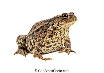 Toad on white background