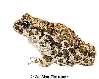 Toad on white background and texture