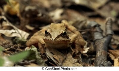 Toad sitting among leaves in the woods croaking.