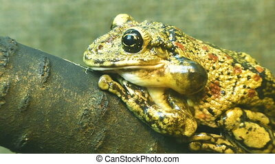 Toad sitting on a tree. - Toad sitting on a tree branch...