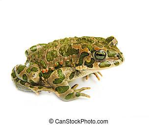 toad ,frog,animal ,amphibia ,amphibian, animal,