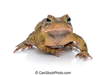 Toad - toad on white background