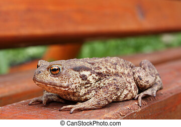 Toad sits on the orange bench. Focus on the eyes.
