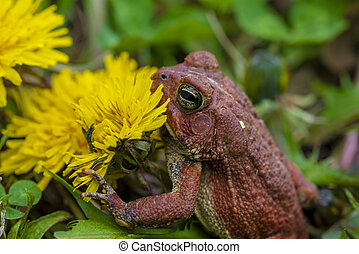 Toad with a Dandelion