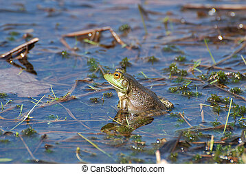 Toad with a Reflection in the Water