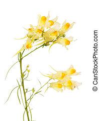 toadflax, arriba, aislado, white., tallos, cierre, flores