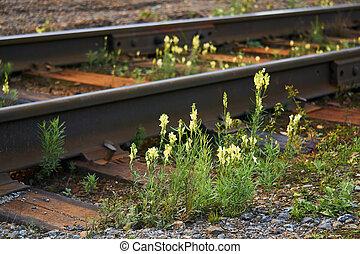 toadflax, entre, flores, pistas, ferrocarril, salvaje, durmientes, grew