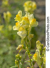 Toadflax, Linaria vulgaris, Scrophulariaceae, Europe, North...