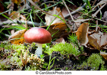A Russula emetica agaric found in the New Forest, UK. Commonly known as the 'Sickener'