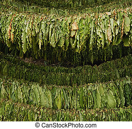 Tobacco - Classical way of drying tobacco