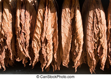 Tobacco drying leafs - Tobacco leafs, hanged to dry before...