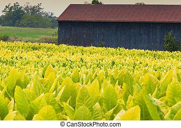 Tobacco farm - Field of tobacco plants in a farm in Kentucky...