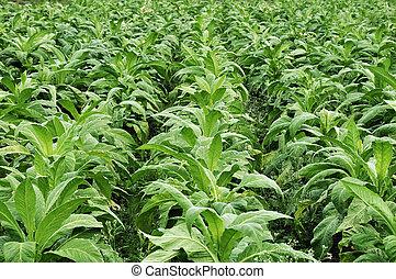 tabacco farming in indian state karnataka