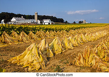 Tobacco Harvest - Tobacco on a Lancaster County,...