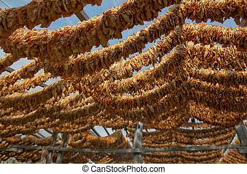 Tobacco leaves tied in rope