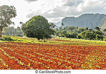 Tobacco plantation with small plants and Vinales valley in the background, province, Pinar Del Rio, Cuba