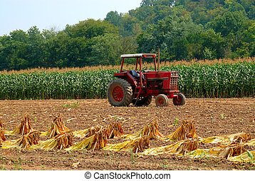 Tobacco Plants at Harvest. Brightleaf tobacco leaves tied to...