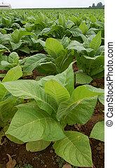 Tobacco Plants in a Field