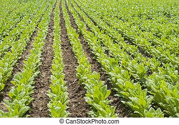Tobacco plants in field