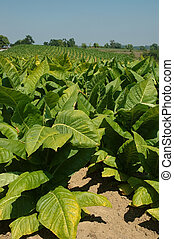 The tobacco plants stand 4 feet tall and trail in rows for miles into the distant hills on the farms of Kentucky, USA.