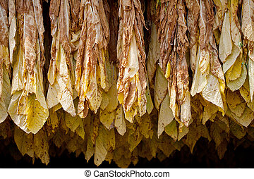 Tobacco - Row of tobacco leaves curing in a barn
