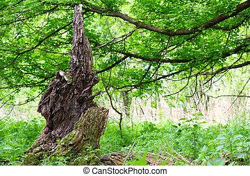 tocón, árbol viejo