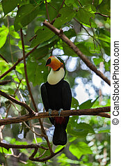 Toco toucan in zoo of exotic birds