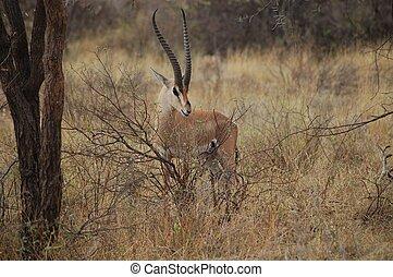 toelage's gazelle