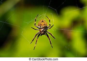 toile araignée, rainforest, sien