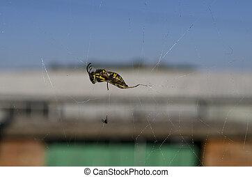 toile, attrapé, araignés, victime