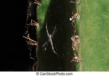 toile, cactus, araignés