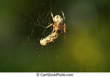 toile, gros plan, morsure, moth, attrapé, après, araignés, enchevêtré