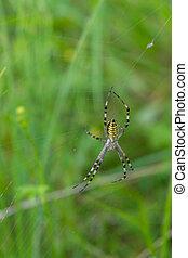 toile, nature, araignée guêpe, (argiope, beautifull, bruennichi)