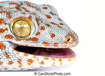 tokay, gecko