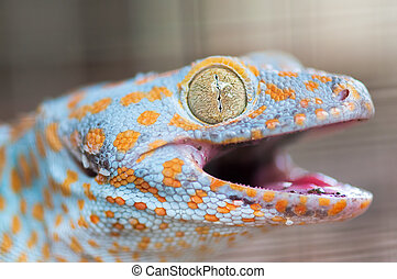 Tokay Gecko - close up shot of a tokay gecko