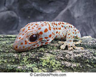 Tokay Gecko (Gecko Gecko) Close Up View.
