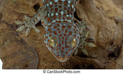 Tokay gecko - Gekko gecko on wooden snag in white background...