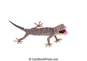 Tokay Gecko isolated on white background - Large or tokay ...