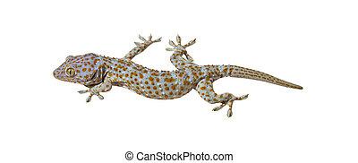 Tokay Gecko on a white background
