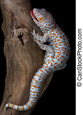 Tokay gecko on driftwood - A tokay gecko is opening his ...