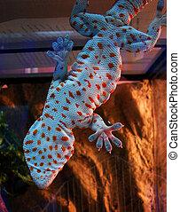 gecko - Tokay gecko on white background...