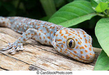 Tokay Gecko on wood in the garden