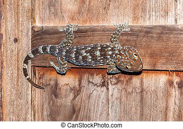 tokay gecko on wood windows