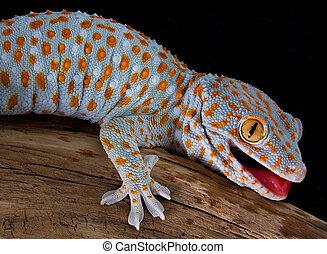 tokay, gecko, ouverture bouche