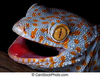 Tokay gecko portrait - A tokay gecko is opening his mouth in...