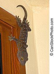 Tokay Gecko Thailand - Tokay gecko in Thailand, close up .