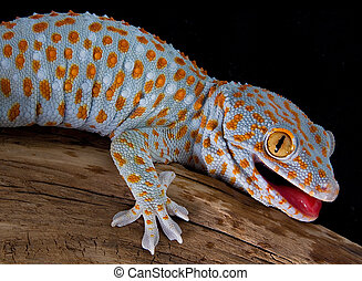 Tokay gecko with mouth open - A tokay gecko is opening his...