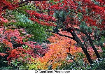Tokyo momiji - Autumn leaves in Japan - red momiji leaves (...