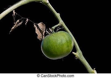 tomaat, black , vrijstaand, achtergrond